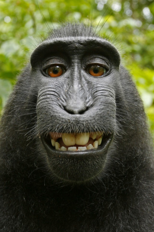 Monkey selfie, shot with David Slater's camera.