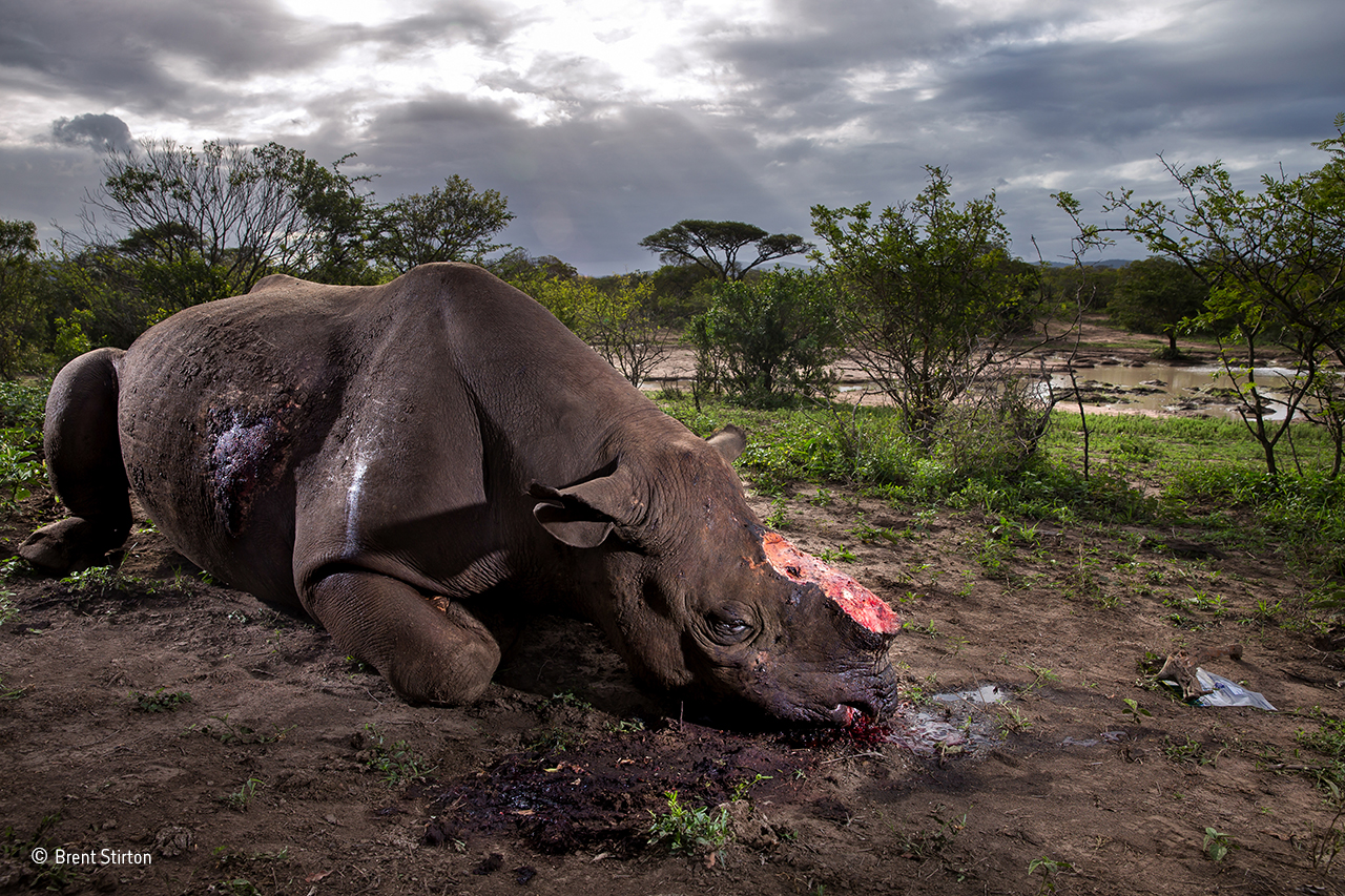 """Memorial to a species"" © Brent Stirton - Wildlife Photographer of the Year"